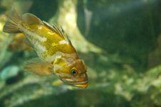 Free Gold Fish Royalty Free Stock Photo - 6832855