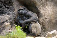 Free Gorilla Stock Images - 6833474
