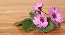 Free Beautiful Pink Daisies And Green Leaves Royalty Free Stock Photos - 6833488