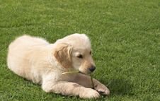 Small Golden Retriever Puppy Stock Photography