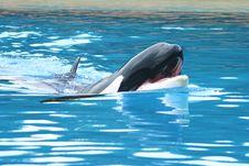 Free Orca Stock Photos - 6834173