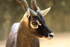 Free Blackbuck Stock Images - 6835014