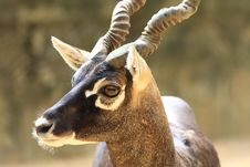 Free Blackbuck Royalty Free Stock Image - 6835016
