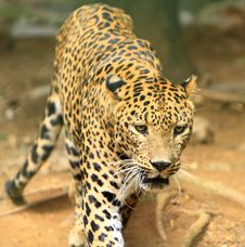 Free Leopard Stock Photography - 6835032