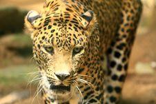 Leopard Royalty Free Stock Photos
