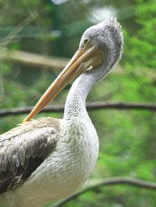 Free Pelican Stock Images - 6835054
