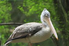 Free Pelican Stock Photography - 6835062
