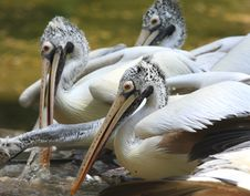 Free Pelican Royalty Free Stock Image - 6835136