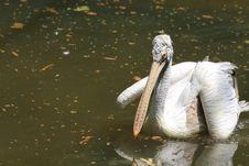 Free Pelican Royalty Free Stock Photos - 6835138