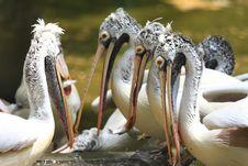 Free Pelican Stock Photo - 6835150
