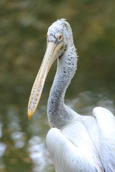 Free Pelican Stock Image - 6835191