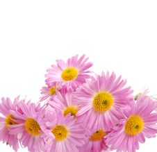 Free Chrysanthemum Royalty Free Stock Photography - 6836747