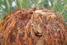 Free Cycas Palm Royalty Free Stock Photos - 6838168