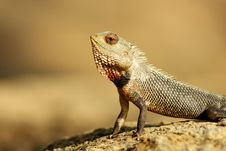 Free Lizard Royalty Free Stock Image - 6838896