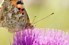 Butterfly On Flower. Stock Photography