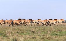Free Wild Horse-tarpan Stock Image - 6839971