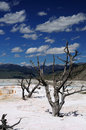Free Dead Trees In Mammoth Hot Spring Stock Images - 6846294