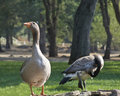 Free Geese On Rock Wall Stock Photography - 6847952