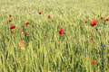 Free Wheat Field With Poppies And A Blue Sky Stock Photo - 6849100