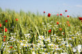 Free Field Of Wheat With Lots Of White And Red Fl Stock Photography - 6849462
