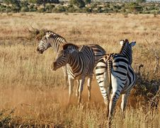 Free Africa Burchell S Zebra Royalty Free Stock Image - 6840116