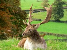 Relaxing Stag Stock Image
