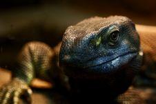 Dark Green Lizard Stock Images