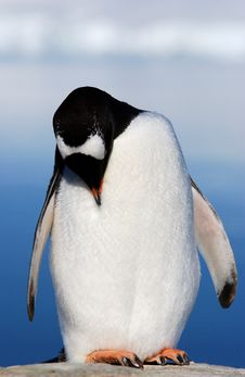 Free Gentoo Penguin Stock Images - 6843334