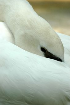 Free Peek A Boo White Swan Royalty Free Stock Image - 6844276