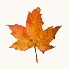 Free Colored Autumn Maple Leaf Royalty Free Stock Photos - 6845078