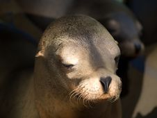 Free Sealion S Face Close-up Royalty Free Stock Image - 6845146