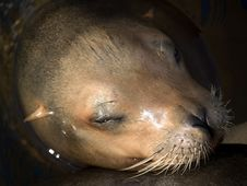 Free Sea Lion S Face Close-up Stock Photos - 6845153