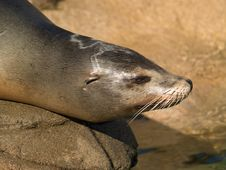 Free Sea Lion S Face Close-up Stock Image - 6845161