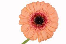 Free Gerbera Royalty Free Stock Images - 6845819