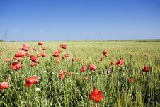 Wheat Field With Poppies And A Blue Sky Royalty Free Stock Photos