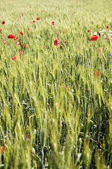 Wheat Field With Poppies And A Blue Sky Stock Photo