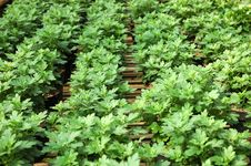 Free Mint Flower Stock Image - 6847031