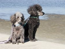 Free Poodles On The Beach Stock Image - 6847691