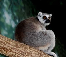 Free Lemur On Tree Royalty Free Stock Photography - 6847967