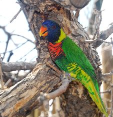 Free Lorikeet On A Tree Branch Royalty Free Stock Photography - 6847977