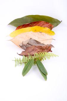 Free Autumn Leaves On White Stock Photo - 6848130