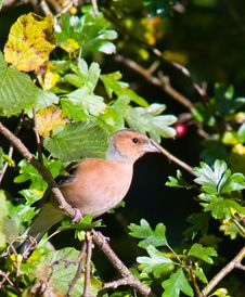 Free Chaffinch Stock Images - 6849224