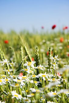 Field Of Wheat With Lots Of White And Red Fl Stock Photography