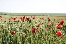 Wheat Field With Lots Of Poppies Royalty Free Stock Photo