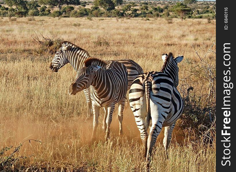 Africa Burchell s Zebra