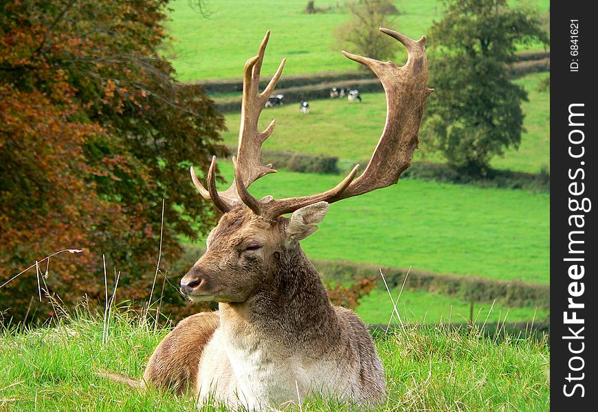 Relaxing Stag