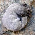 Free Polar Fox Royalty Free Stock Image - 6853296