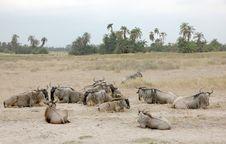 Free Wildebeest Royalty Free Stock Photos - 6850398