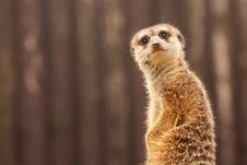The Meerkat Royalty Free Stock Image