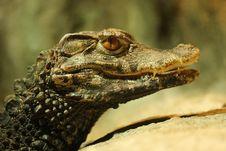 Free Head Of Crocodile Stock Photo - 6852910
